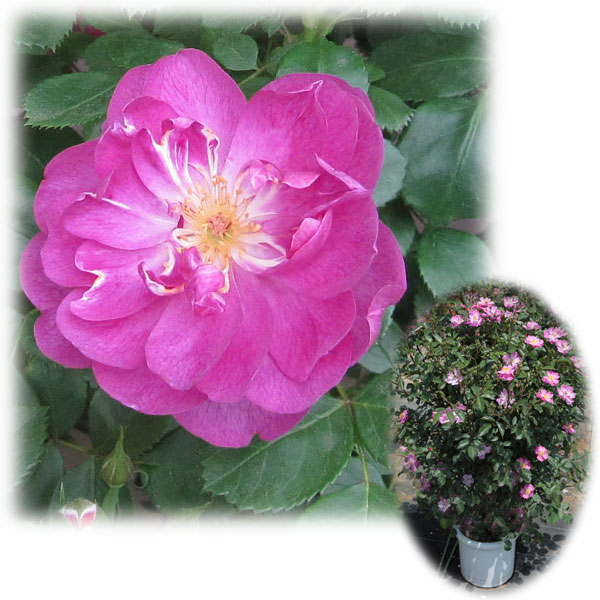 [バラ行燈予約]つるバラ:紫玉(シギョク)8号大型アンドン仕立て