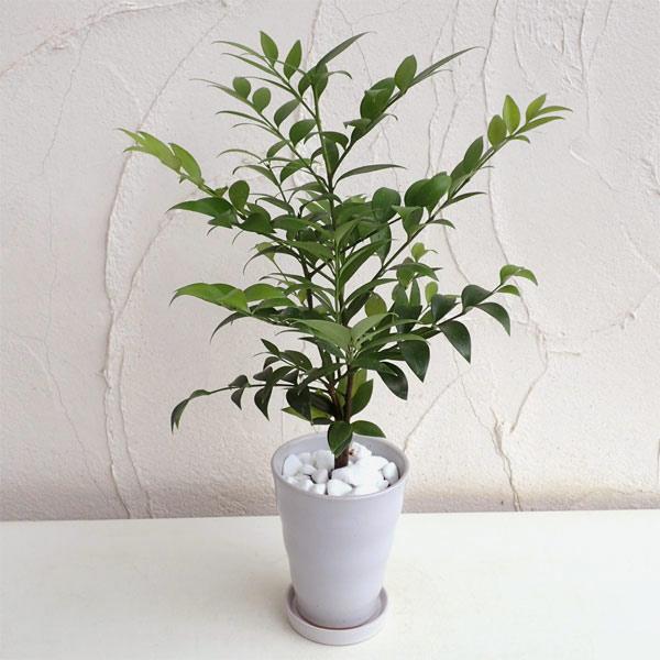 梛(ナギ)の木4号陶器鉢植え