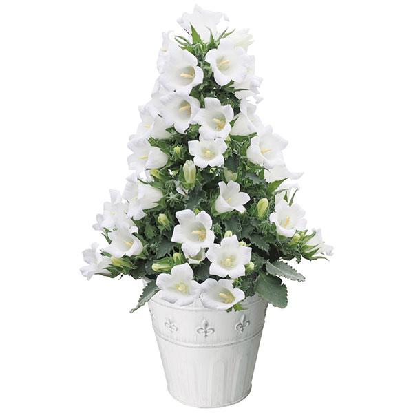 カンパニュラ:ホワイトメアリーミー16cmブランポット入り(花が少ないため特価)
