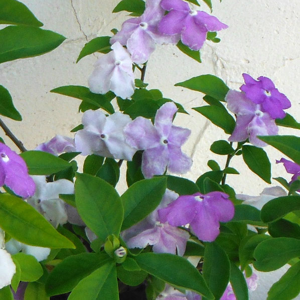 ニオイバンマツリ(ブルンフェルシア)5号鉢植え