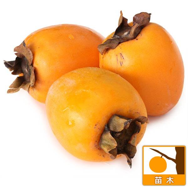 柿(カキ):あたご柿(愛宕柿)4~5号ポット さわし柿に! 苗木 柿(カキ):あたご柿(愛宕柿)
