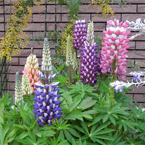 宿根ルピナス:花色ミックス5種10株セット 宿根ルピナス:花色ミックス5種10株セット:草花の苗