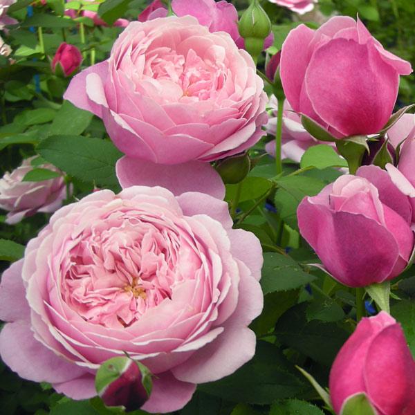 [17年5月中旬予約]デルバールローズ:シャンテ・ロゼ・ミサト新苗4号鉢植え