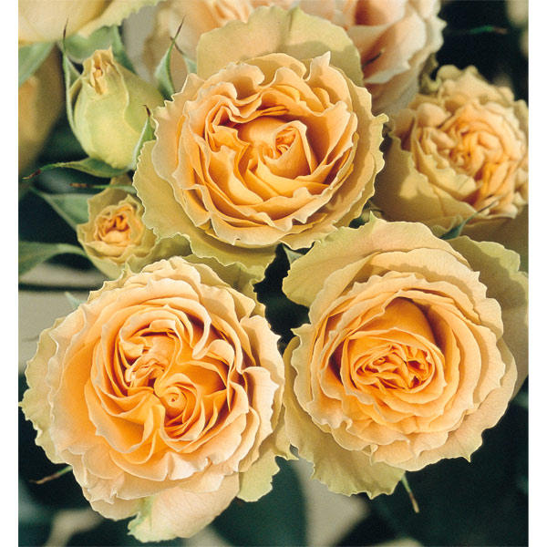 四季咲中輪バラ:アンティーク レース新苗