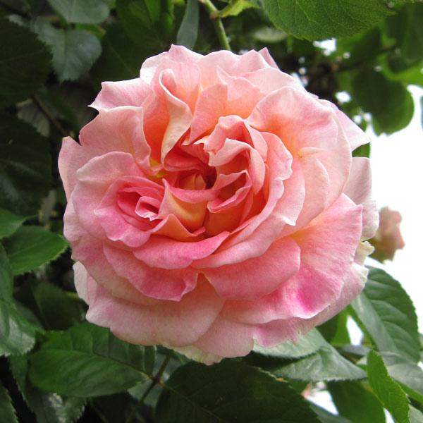 バラの画像 p1_28