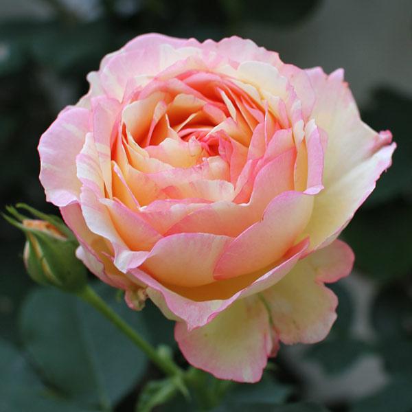 [17年5月中旬予約]デルバールローズ:ペッシュ・ボンボン新苗4号鉢植え