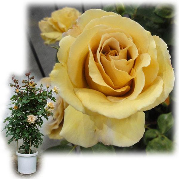 [バラ行燈予約]つるバラ:バタースコッチ8号大型アンドン仕立て