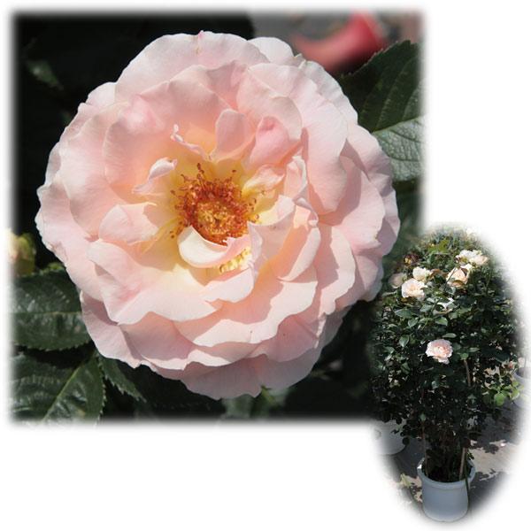[バラ行燈予約]つるバラ:ロココ8号大型アンドン仕立て