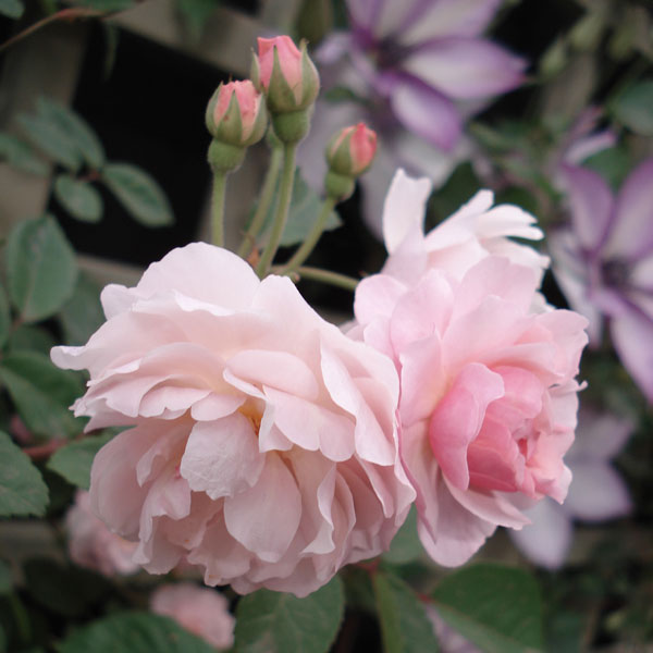 [バラ行燈予約]つるバラ:コーネリア8号大型アンドン仕立て