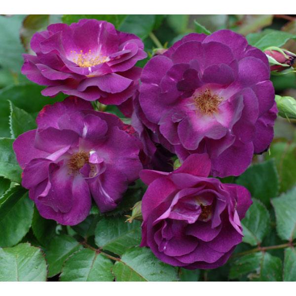 [17年5月中旬予約]つるバラ:ソニャドール新苗
