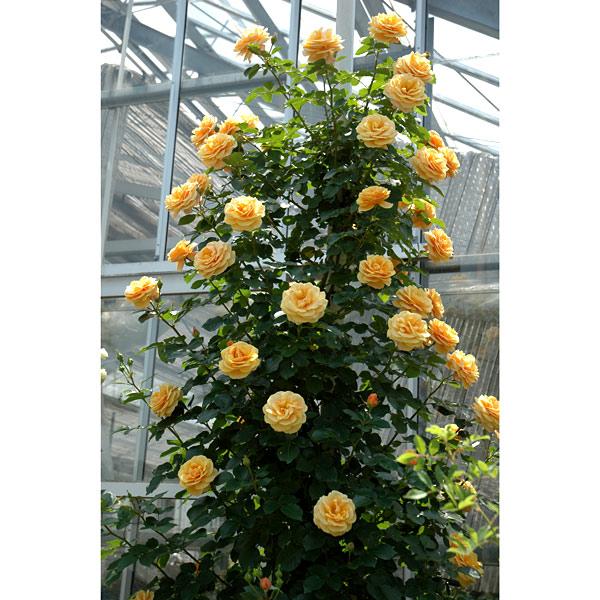 [17年5月中旬予約]つるバラ:スターチェイサー新苗