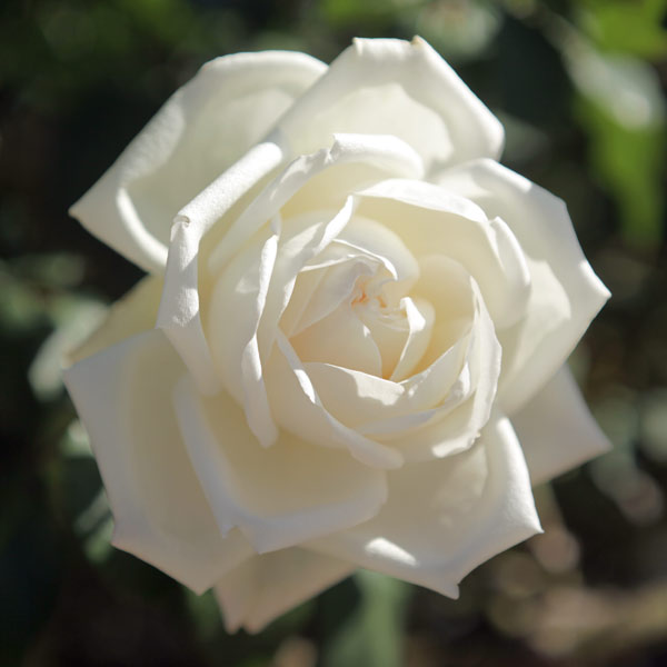 つるバラ:新雪(しんせつ)新苗