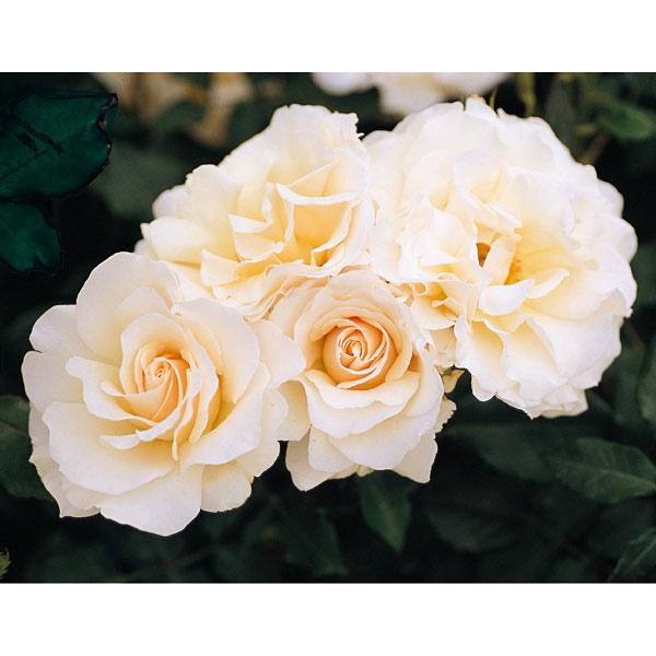 四季咲中輪バラ:フレンチレース新苗
