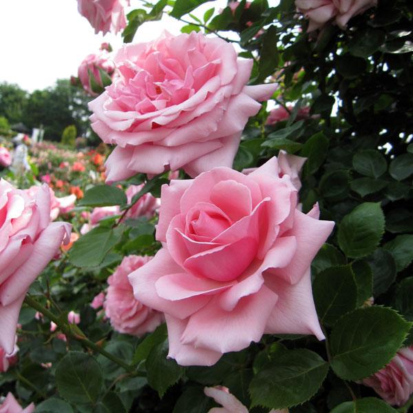 [17年5月中旬予約]つるバラ:羽衣(はごろも)新苗