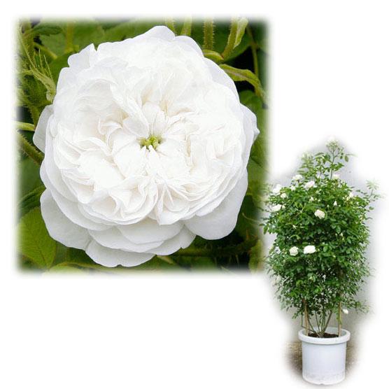 [バラ行燈予約]つるバラ:マダム・ハーディー8号大型アンドン仕立て