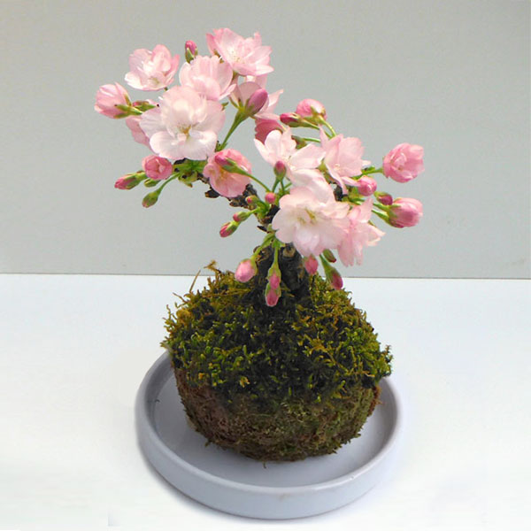 ミニ桜:旭山(アサヒヤマ)コケ玉仕立て4号(陶器皿付き)