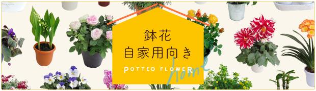 鉢花:自家用向き鉢花