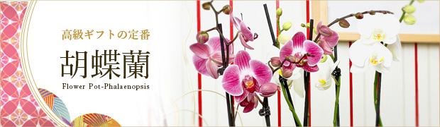 鉢花:胡蝶蘭