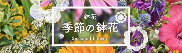 鉢花:季節の鉢花