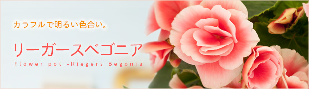 鉢花:リーガースベゴニア