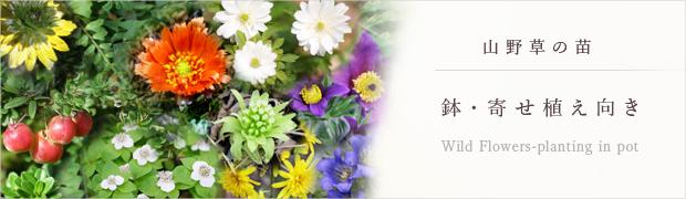 山野草の苗:鉢・寄せ植え向き