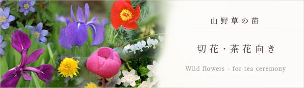 山野草の苗:切花・茶花向き