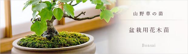 山野草の苗:盆栽用花木苗