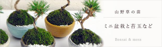 山野草の苗:ミニ盆栽と苔玉など