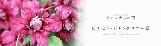 クレマチスの苗:ビチセラ・ジャックマニー系