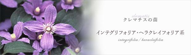 クレマチスの苗:インテグリフォリア・ヘラクレイフォリア系