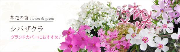 草花の苗:シバザクラ(芝桜)