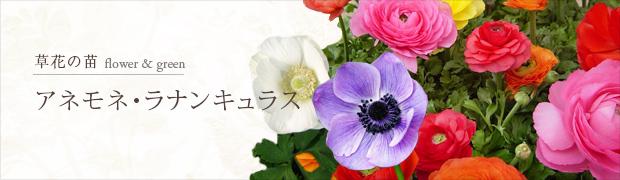 草花の苗:アネモネとラナンキュラス