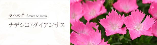 草花の苗:ナデシコ・ダイアンサス