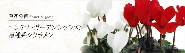 ガーデンシクラメン・原種系・他[低]