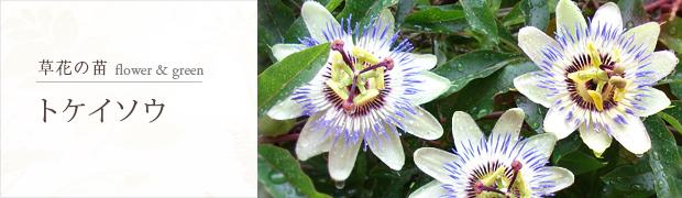 草花の苗:トケイソウ