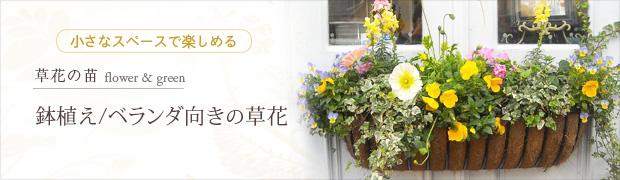 草花の苗:鉢植え・ベランダむきの草花