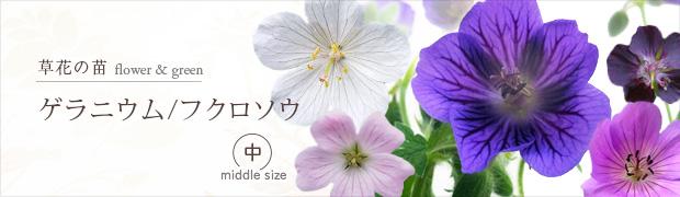 草花の苗:ゲラニウム(フウロソウ)[中]