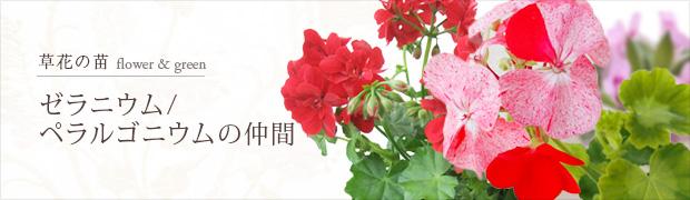 草花の苗:ゼラニウム ペラルゴニウムの仲間