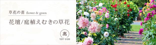 草花の苗:花壇 庭植えむきの草花[高]