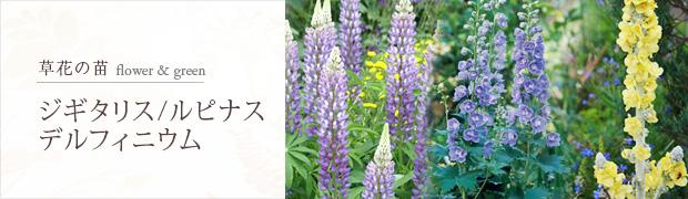 草花の苗:ジギタリス デルフィニウム ルピナス