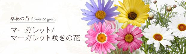 草花の苗:マーガレット