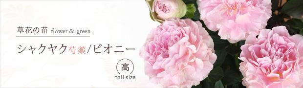 草花の苗:シャクヤク(芍薬)・ピオニー [高]