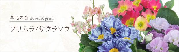 草花の苗:プリムラ サクラソウ