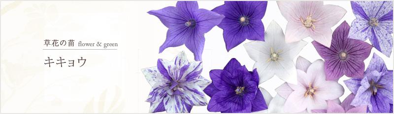 草花の苗:グランドカバー(花もの・ケース販売)