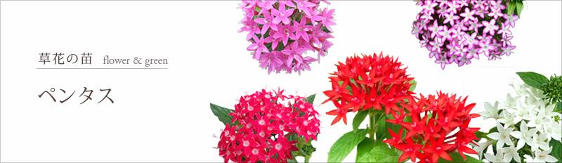 草花の苗:グランドカバー(葉もの・ケース販売)