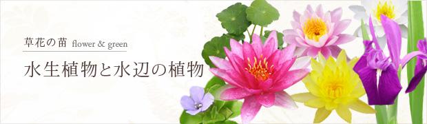 草花の苗:水生植物
