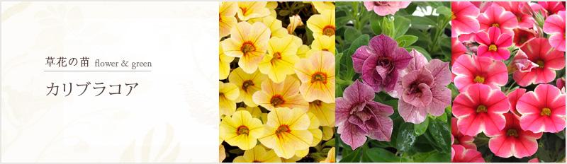 草花の苗:花壇の苗ケース・セット販売