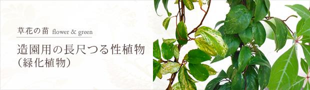 草花の苗:造園用の長尺つる性植物[緑化植物]