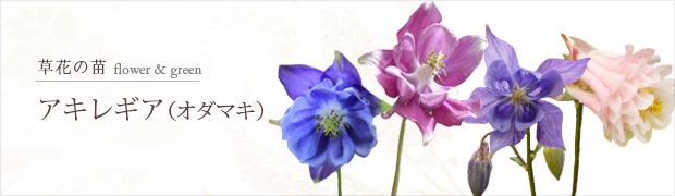 草花の苗:アキレギア(オダマキ)