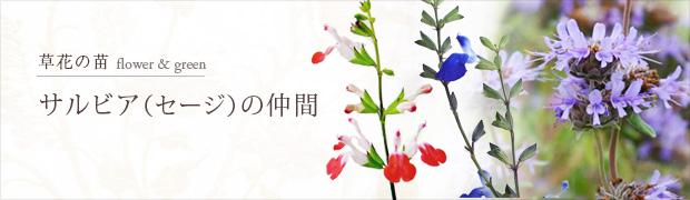 草花の苗:サルビア(セージ)の仲間